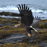 White-tailed Eagle, Outer Hebrides