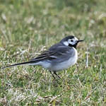 White Wagtail, Lewis