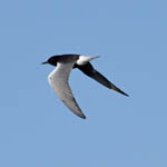 White-winged Black Tern, Outer Hebrides
