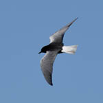 White-winged Black Tern - Outer Hebrides Birds