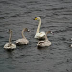 Whooper Swan family Outer Hebrides