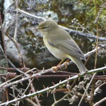 Willow Warbler, South Glendale