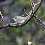 Wood Warbler, Ness