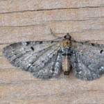 Wormwood Pug, Outer Hebrides moths