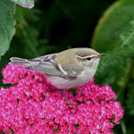 Yellow-browed Warbler Uist