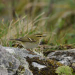 Yellow-browed Warbler Outer Hebrides