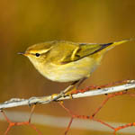 Yellow-browed Warbler Outer Hebrides 2020
