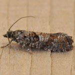 Zeiraphera griseana - Outer Hebrides Moths